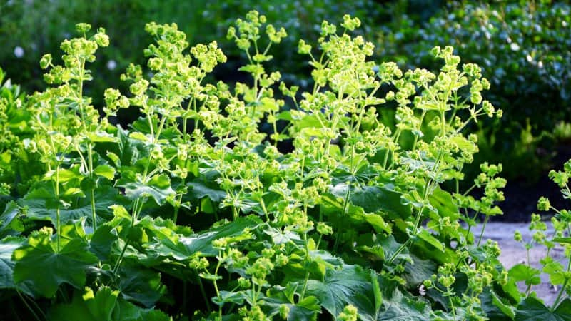 Lady's Mantle (Photo by Bankiras / Shutterstock.com)