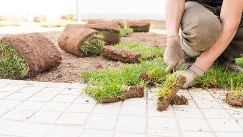 Landscaper installing new fresh sod in yard