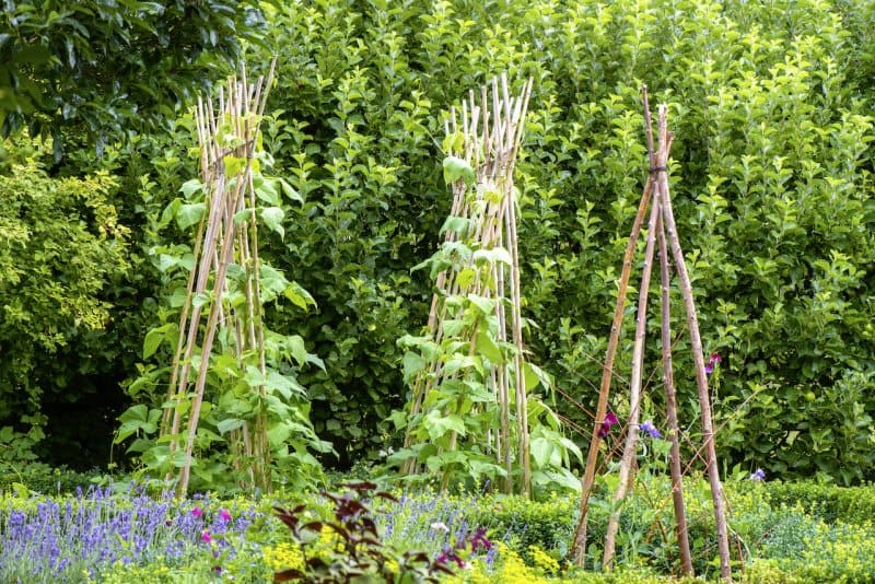 Runner beans growing in a vegetable garden on a wigwam made of wooden sticks (Photo by  © Jacky Parker Photography/Moment/Getty Images.)