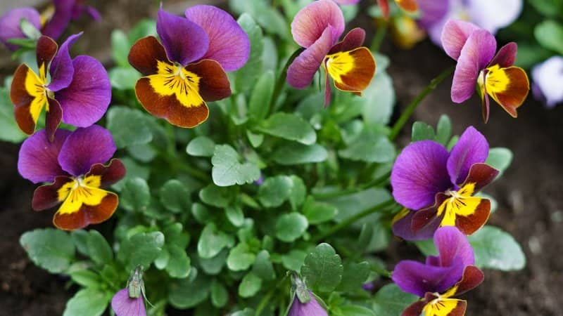 Pansy (Photo by nadia_if / Shutterstock.com)