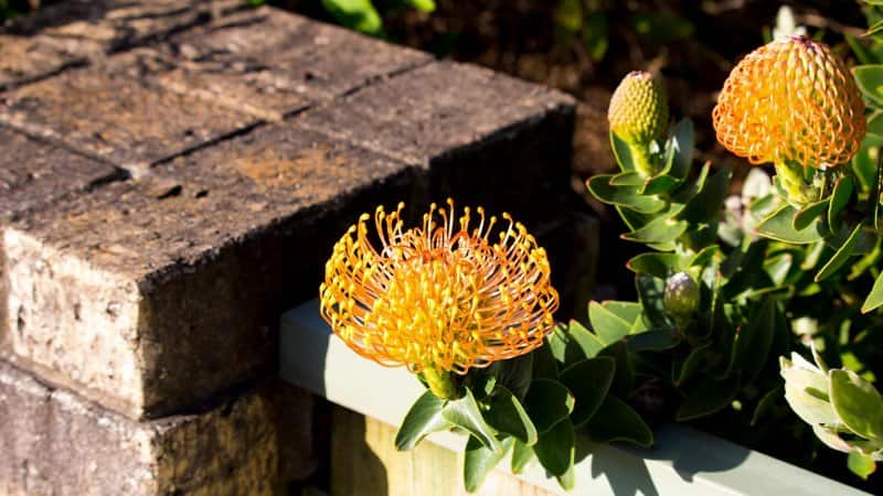 pin cushion flower (Photo by alybaba / Shutterstock.com)