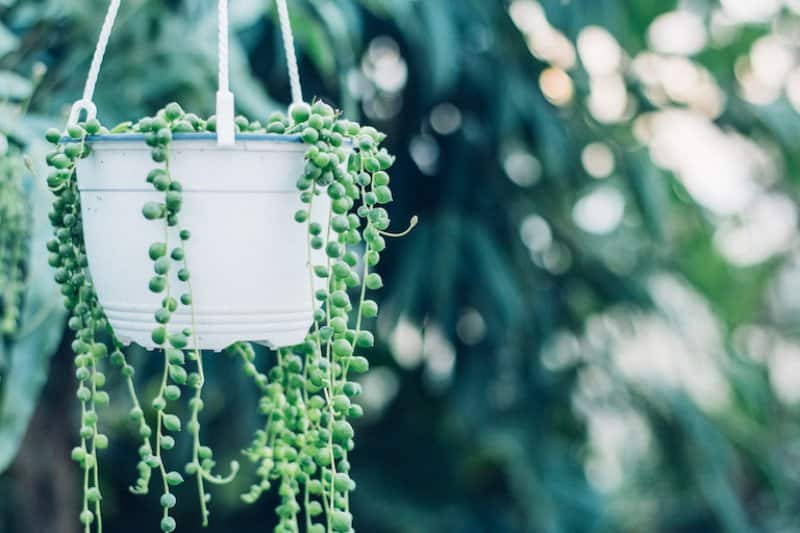 closeup of string of pearls plant with blurry greenery in background (Photo by  Jessica Ruscello/iStock/Getty Images Plus via Getty Images)