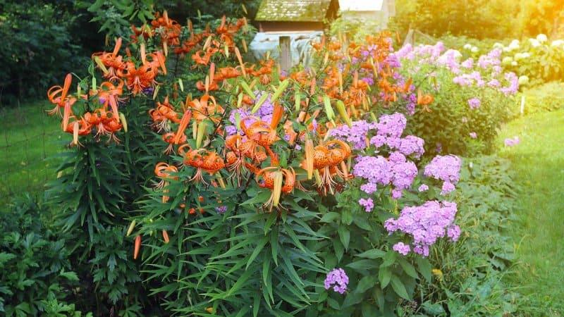 Tiger Lily (Photo by elegeyda / Shutterstock.com)