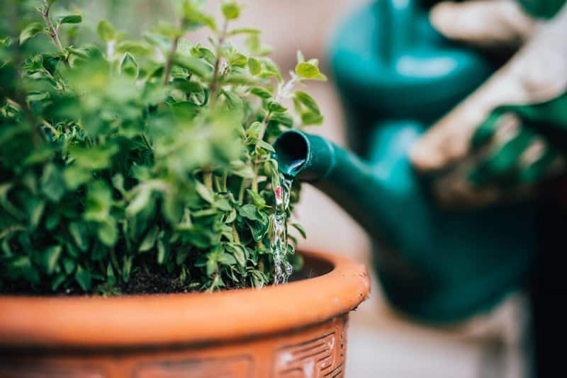 Watering potted plant (Photo by Guido Mieth/DigitalVision via Getty Images)