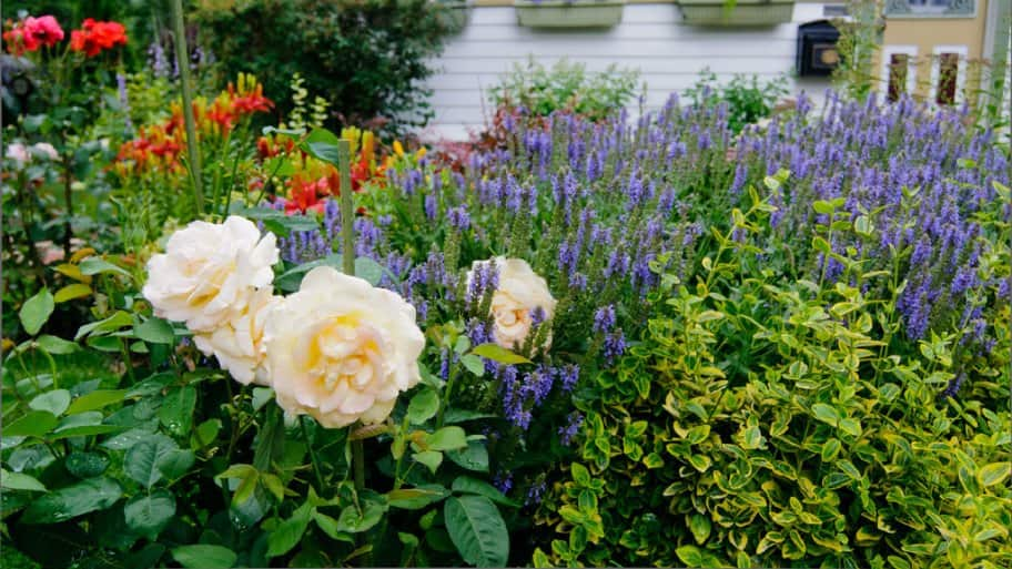 A garden with roses and lavender.