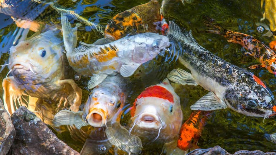 Koi, goldfish and shubunkin swimming together, some with faces popping out of the water