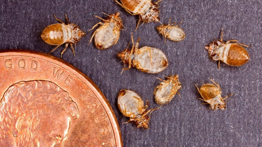 Size of bed bugs