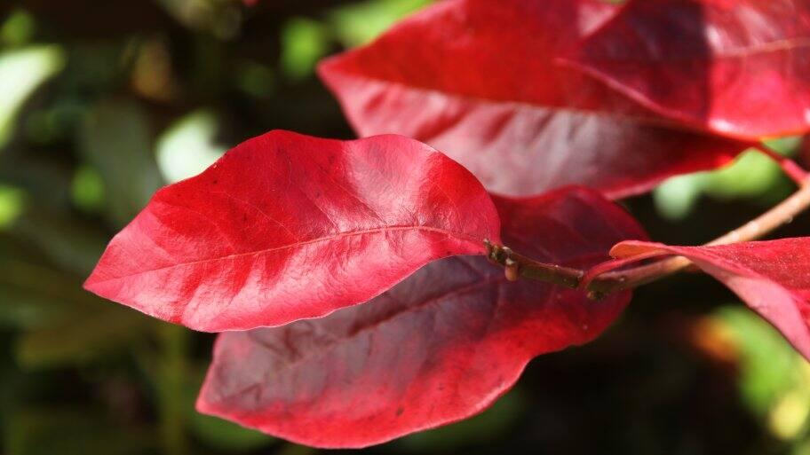 tupelo tree leaf