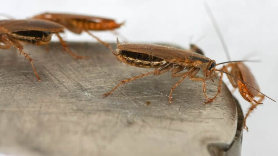 close-up of cockroaches
