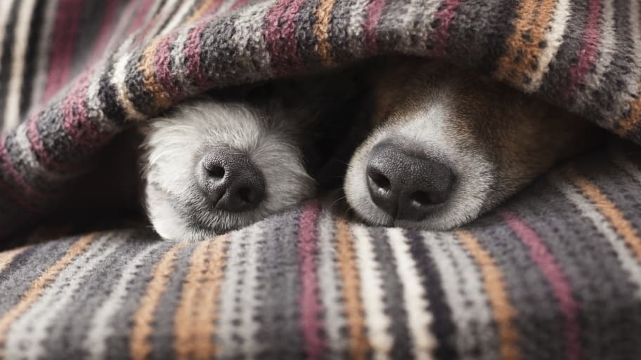 dogs under blanket with noses poking out