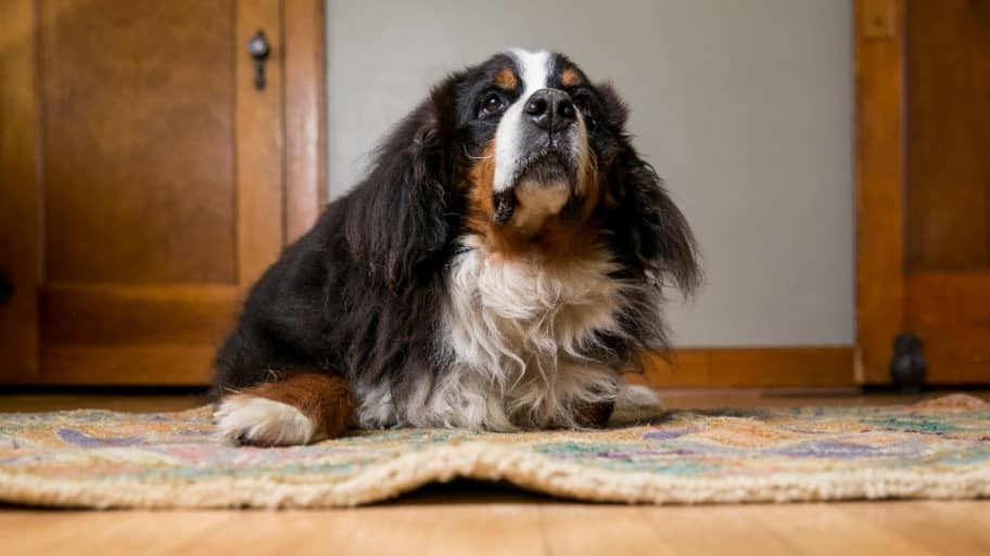a furry dog sitting on a rug