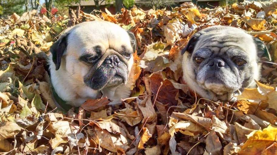 two pugs in a pile of leaves