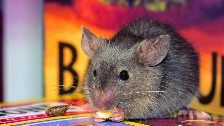 mouse eating seed