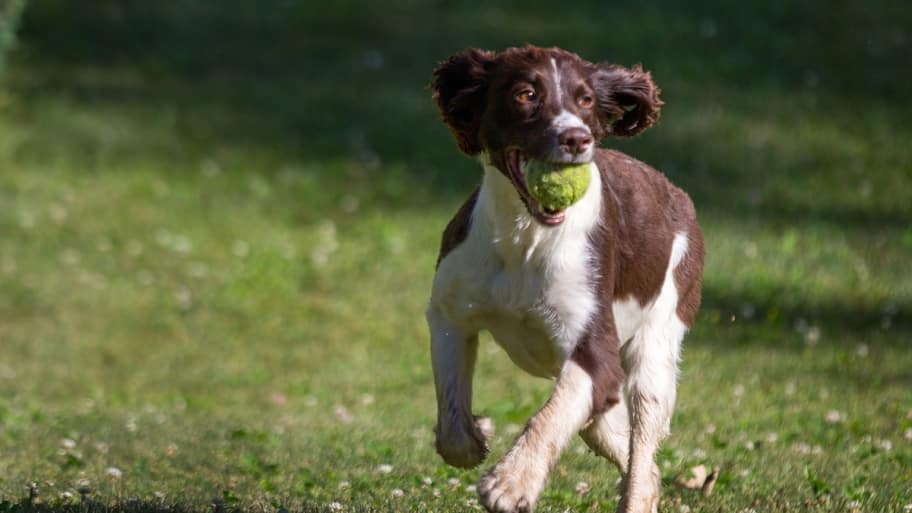 spaniel with tennis ball