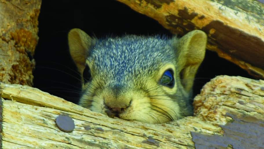 squirrel in damaged roofing soffit