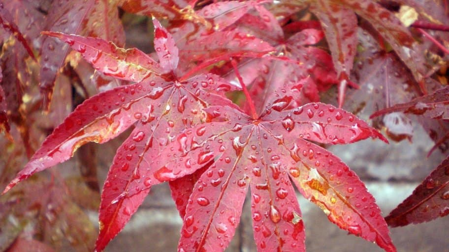 Japanese maple tree's colorful leaves
