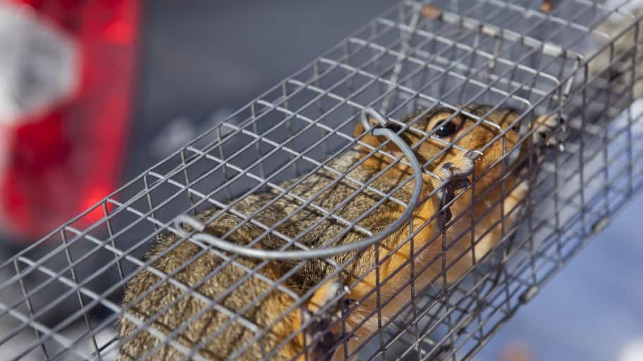 Squirrel in humane trap