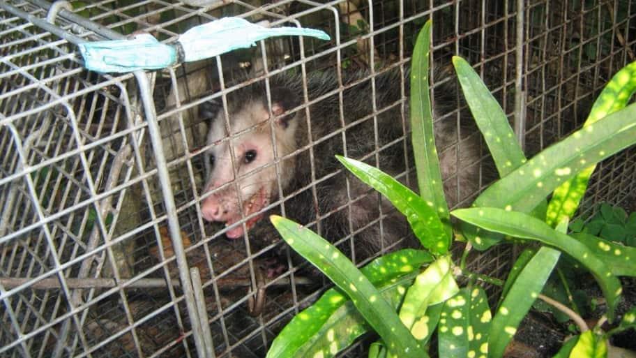 Using traps to remove animals.