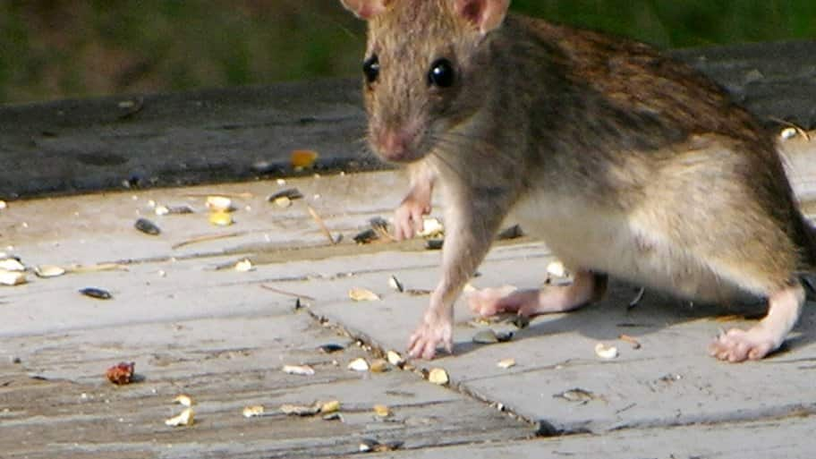 closeup of a rat running around outside on concrete