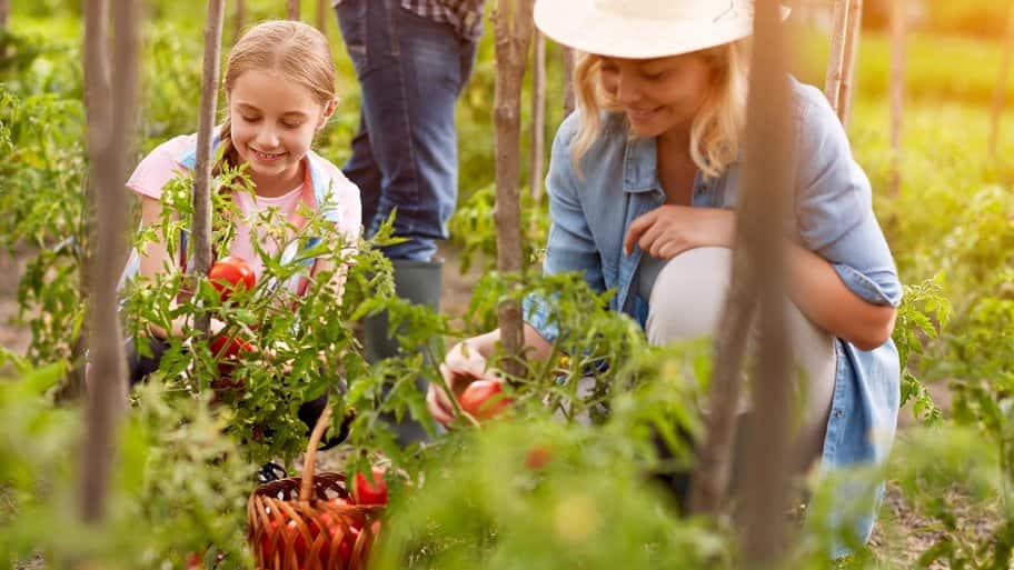 Family picks tomatoes