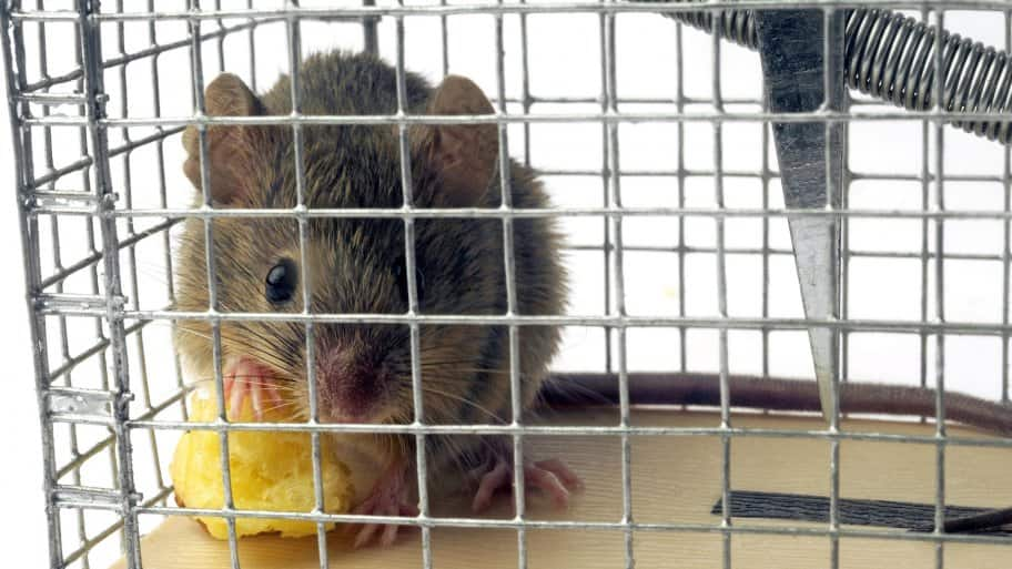 mouse in live trap