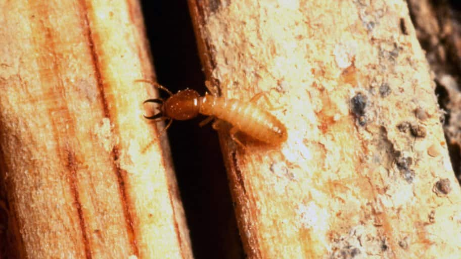 termite crawls around damaged wood in home