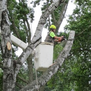 Professional tree trimming