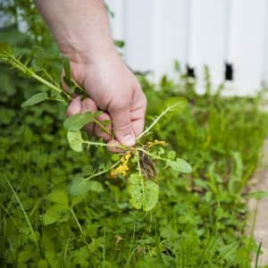 hand pulling a weed out of a lawn