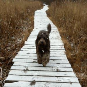 dog walking on a snowy boardwalk across a field
