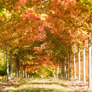 young fall trees