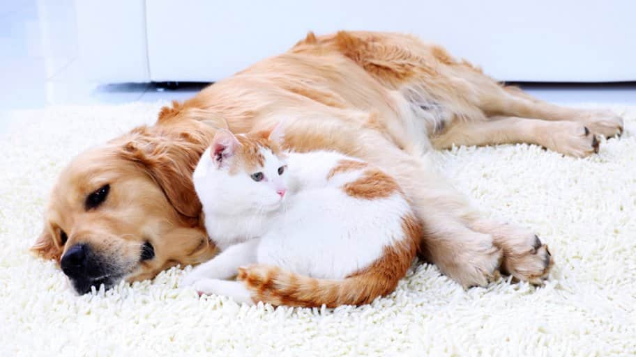 A cat and a dog lay together.