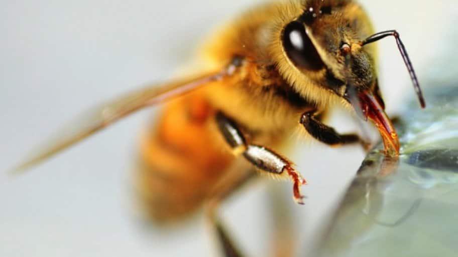 honeybee removal